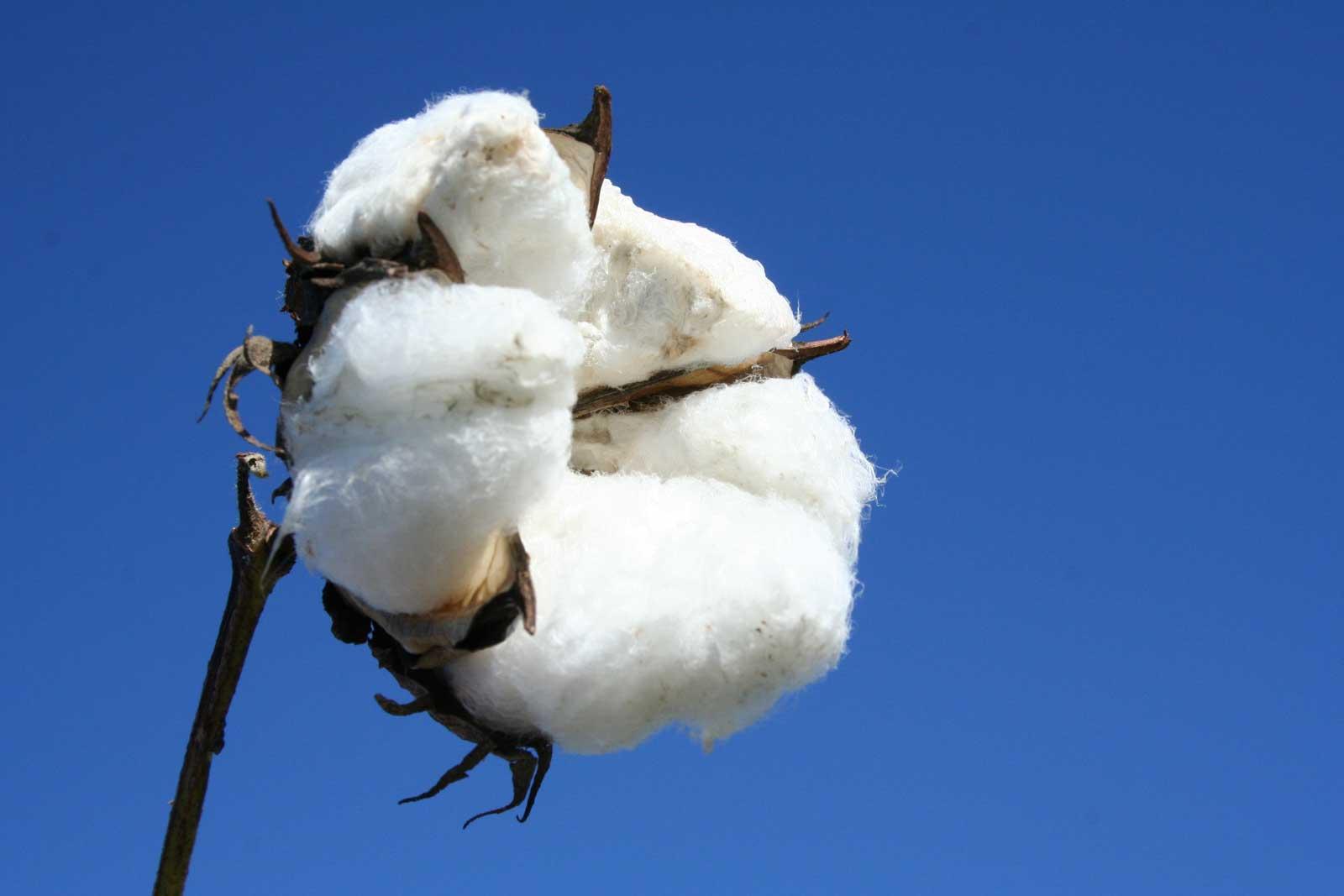 baumwolle-cotton-3g.jpg